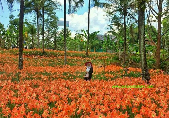 Kebun Bunga Amarilis yang terletak di Desa Salam, Jogja kembali bermekaran,pengunjung pun mulai berdatangan